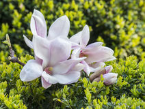 Blooming magnolia tree. Stock Photo