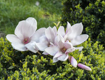 Blooming magnolia tree. Stock Photos