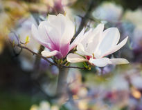 Blooming magnolia tree. Royalty Free Stock Image