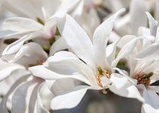 Blooming magnolia tree Stock Photo