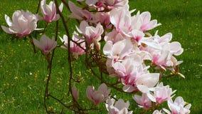Blooming magnolia tree Magnolia. In the castle gardens of Schloss Dachau, Upper Bavaria, Bavaria, Germany, Europe stock video