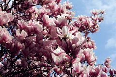 blooming magnolia tree with many flowers Royalty Free Stock Images