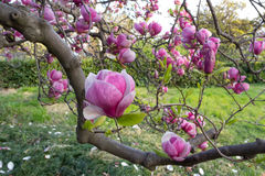 Blooming magnolia tree in the park. In spring Stock Images