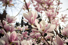 Blooming magnolia tree. Spring blooming magnolia tree background Stock Photography