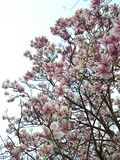 Blooming magnolia tree Stock Photos
