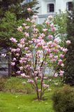 Blooming magnolia tree. Stock Images