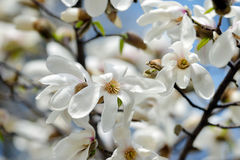 Blooming magnolia tree in spring garden Royalty Free Stock Image