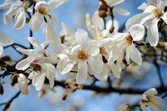 Blooming magnolia tree in spring garden Royalty Free Stock Photos