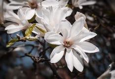 Blooming magnolia tree stock photos
