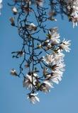 Blooming magnolia tree royalty free stock image