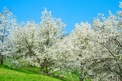 Blooming magnolia trees Stock Photos