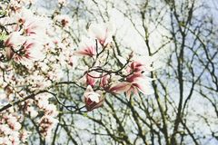Blooming magnolia. An unusual flower. royalty free stock image