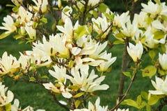 Blooming magnolia Stock Photo