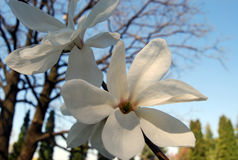Blooming magnolia. White Magnolia flowers in bloom Royalty Free Stock Photography