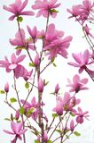 Blooming Magnolia on white Royalty Free Stock Image