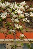 Blooming magnolias in milan. concept of spring and beauty.blooming magnolias on the street stock photos