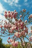 Blooming magnolias in Russia. Sochi city. Adler district park of southern cultures.  royalty free stock photos