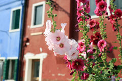 Blooming mallow in Burano Italy. Mallow blooming in the courtyard of the colorful houses in Burano Italy Royalty Free Stock Images