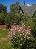 Blooming mallow in front of a country house. Rural properties Royalty Free Stock Photography
