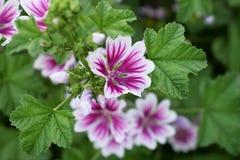 Blooming Malva Zebrina. In the garden, Summer Royalty Free Stock Photo