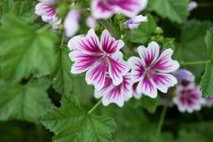 Blooming Malva Zebrina. In the garden, Summer Royalty Free Stock Photography