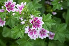 Blooming Malva Zebrina. In the garden, Summer Royalty Free Stock Image