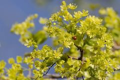 Blooming maple in early spring. On a yellow inflorescence sits a ladybug stock photo