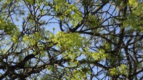 Blooming maple tree twig against blue sky. 4K. Blooming maple tree twig against blue sky background stock footage