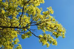 Blooming maple tree twig in early spring Stock Photography