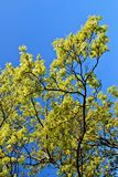 Blooming maple tree twig in early spring Stock Photos
