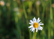 Blooming marguerite daisy in morning light stock photo
