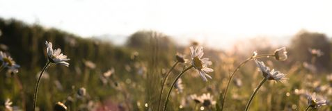 Blooming marguerites daisy in morning light stock photo
