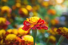 Blooming marigold flower in garden Royalty Free Stock Images