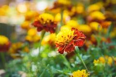 Blooming marigold flower in garden Stock Image