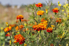 Blooming marigold flowers field closeup Royalty Free Stock Photos