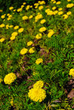 Blooming marigold tagetes. Blooming yellow marigold tagetes on ground in green garden Stock Images