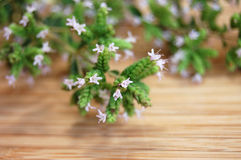 Blooming Marjoram. Freshly picked blooming marjoram on a wooden desk Stock Photos