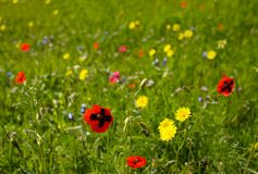 Blooming meadow Stock Image