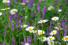 Blooming meadow Royalty Free Stock Photo