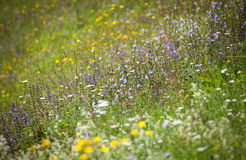 Blooming meadow Royalty Free Stock Photography
