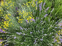 Blooming meadow flowers: tansy and lavender in the green summer meadow. Wild flower bushes stock image