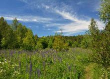 Beautiful blooming meadow with lupin flowers in the forest. Royalty Free Stock Image