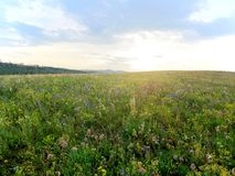 Blooming meadow before sunset Stock Photos