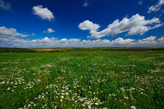 Blooming meadow with white flowers and summer blue sky with white clouds in Bohemian-Moravian Highlands during sunset, Czech repub Stock Photography
