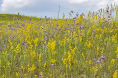 Blooming meadow, wild herbs and flowers on a summer meadow, yellow purple violet flowers and green grass. Blooming summer meadow. Sunny landscape. Background royalty free stock images