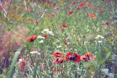 Blooming meadow, wild poppies. Sunny summer Royalty Free Stock Photography