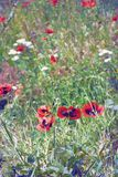 Blooming meadow, wild poppies. Sunny summer Stock Photography