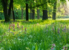 Blooming meadow in the woods. Beautiful morning landscape Royalty Free Stock Photography
