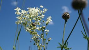 Blooming meadowsweet on a summer meadow. Summer scene. Blooming meadowsweet on a summer meadow stock video