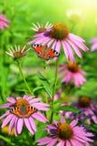 Blooming medicinal herb echinacea purpurea Royalty Free Stock Photography